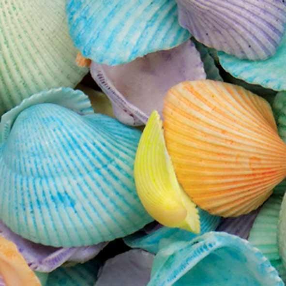 kochylia-clam-chromatista-3-5