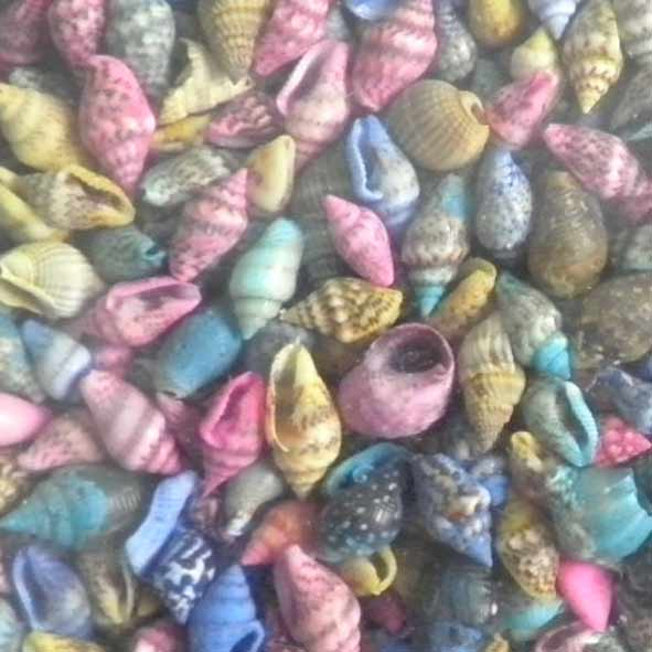 kochylia-nasarius-fyrus-color