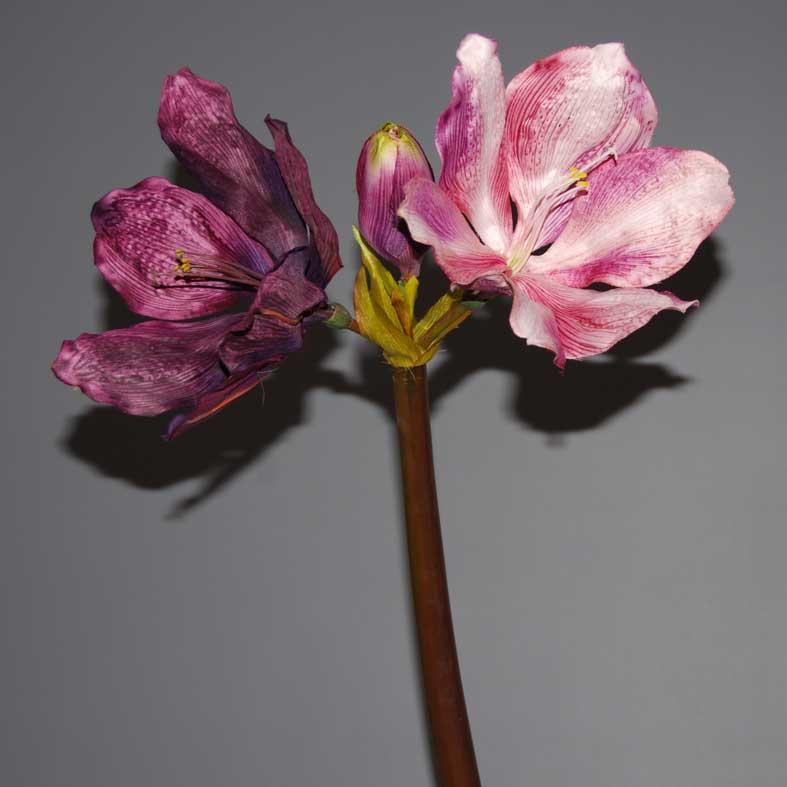 amaryllida-mov-lila-70cm