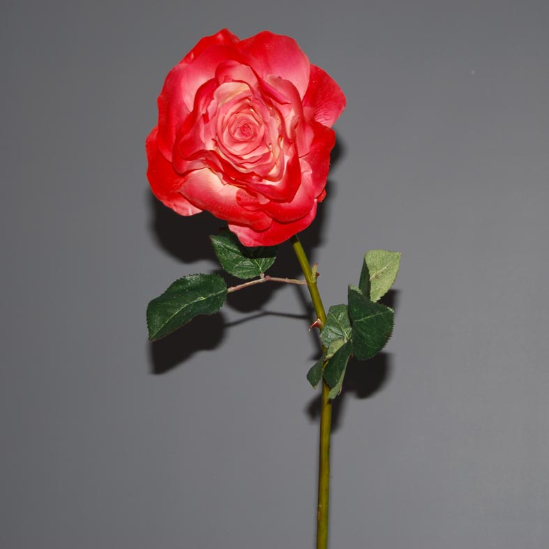 rose-holland-red
